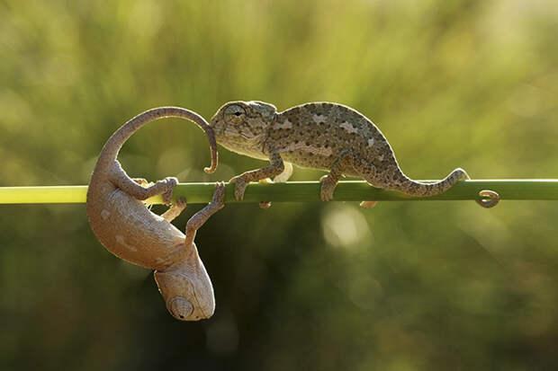 cute-baby-chameleons-58302865c21df__700
