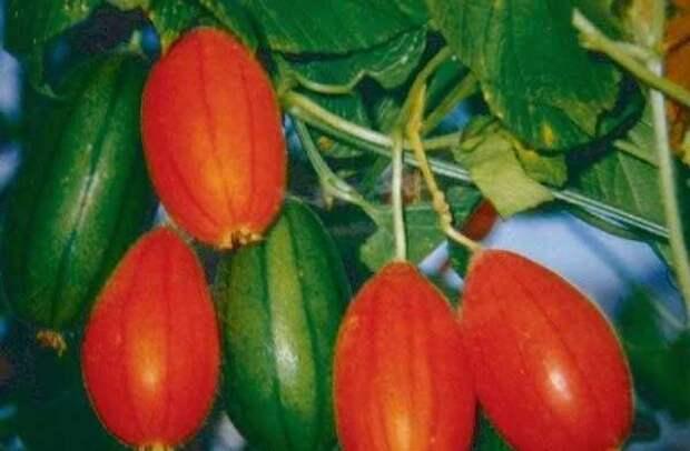 Картинки по запросу необычные овощи
