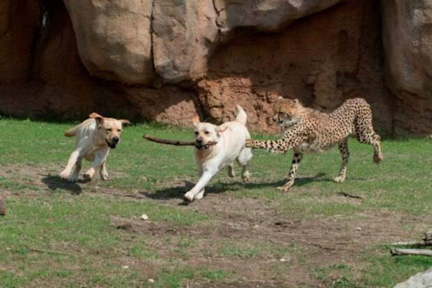 В зоопарке Сан-Диего жизнерадостные собаки спасают гепардов от стресса