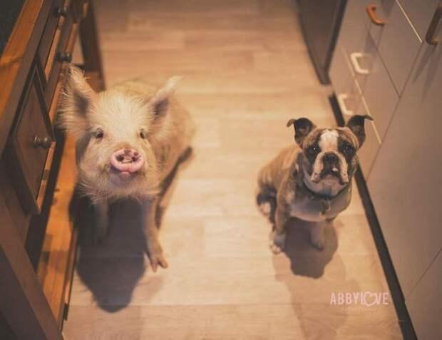 Свинка и собаки
