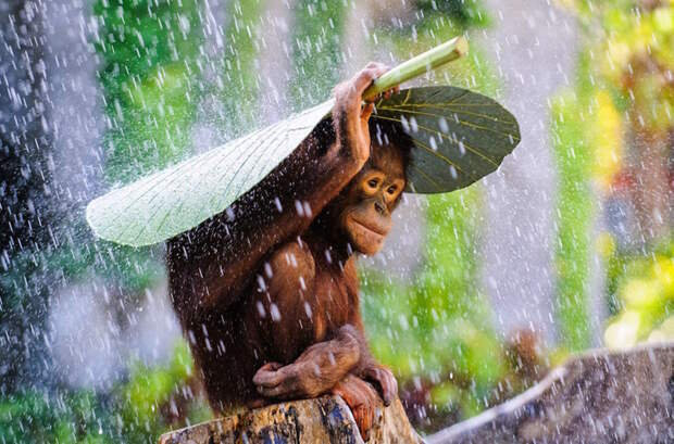 Юный орангутан прячется от дождя. жизнь, интересные, фото