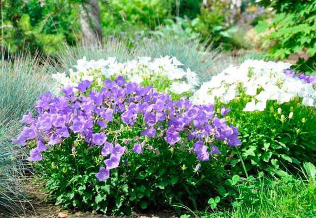 Многолетний садовый цветок Колокольчик (Campanula)