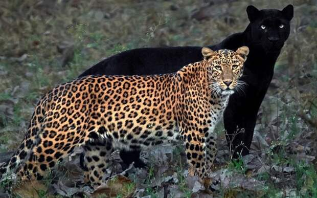 Фотограф 6 дней ждал момента, чтобы поймать леопарда и его «тень»