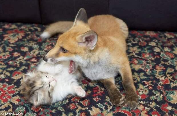 Как котята лисенка спасли