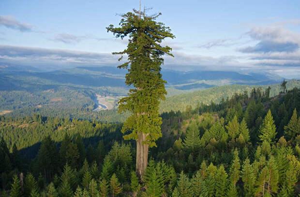 Дерево Мендосино — 112,20 м. В период с декабря 1996 по август 2000 года это было самое высокое дерево в мире (Монтгомери Вудс, штат Калифорния, США)
