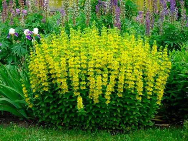 Многолетний садовый цветок Вербейник (Lysimachia)