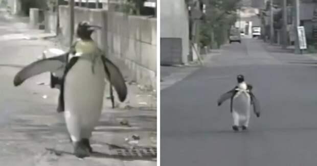 Пингвин Лала вошла в историю — она сама купила себе рыбу в магазине