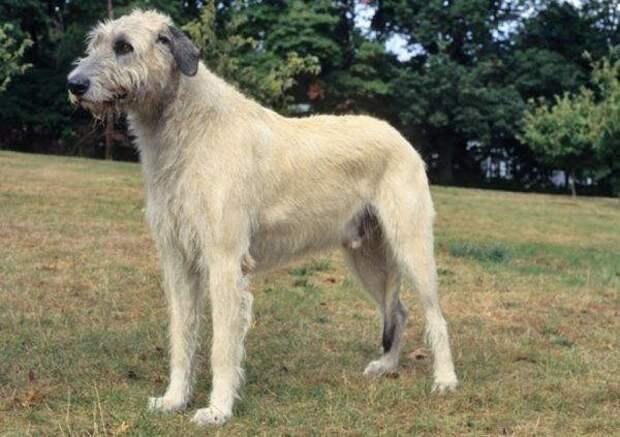 Ирландский волкодав больших, бульдог, до маленьких, питомец, породы, собак, такса