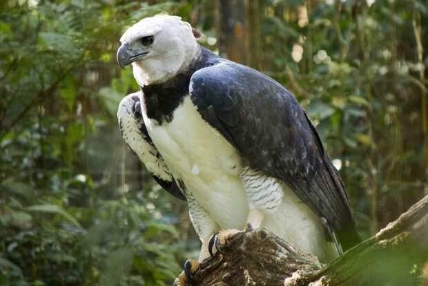 Новогвинейская гарпия. Фото взято из открытых источников