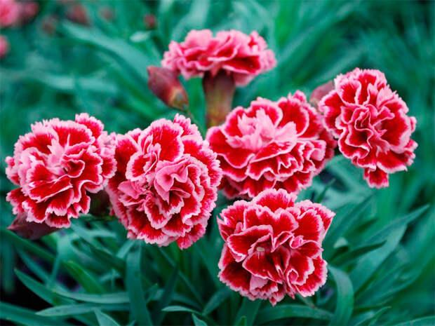 Многолетний садовый цветок Гвоздика (Diantus)