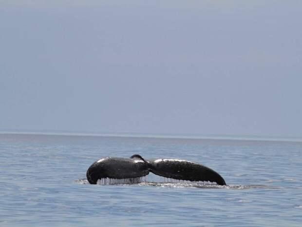 К берегам Камчатки приплыли сразу 12 горбатых китов