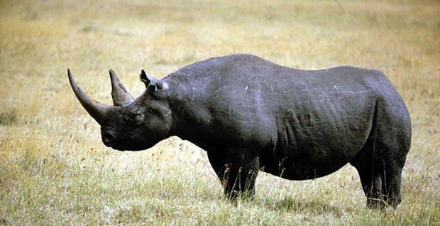 Западноафриканский черный носорог в мире, животные