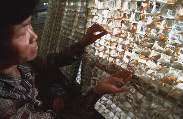 Тутовых червей помещают в картонные рамки, где они производят коконы. Центре шелка Пуок, Камбоджа, 2000 г.