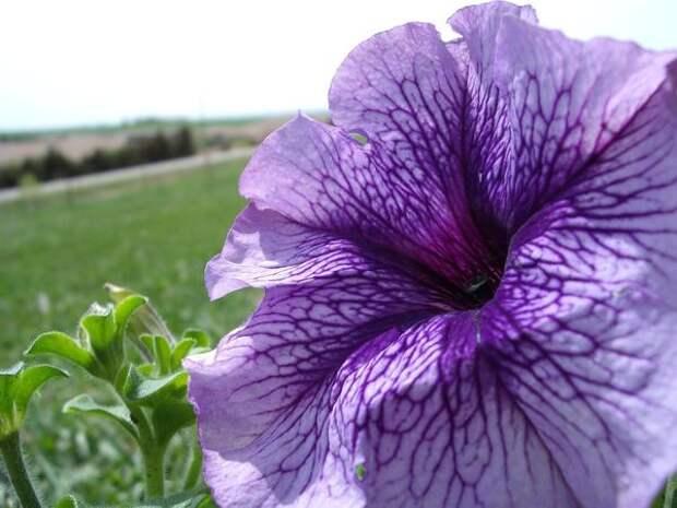 Петуния крупноцветковая - то же, что петуния грандифлора
