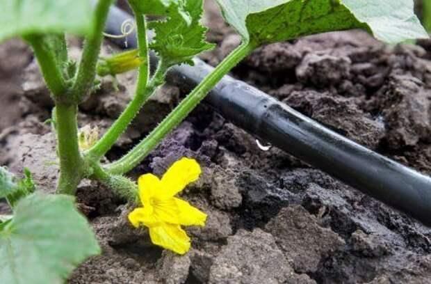 6 причин, почему огурцы дают плохой урожай.