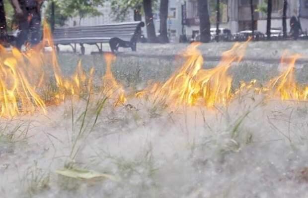 Спасатели предупреждают об опасности тополиного пуха