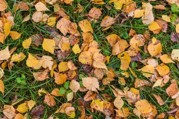 дачные хитрости березовые листья