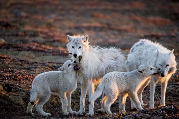 6 завораживающих фото арктических волков, которые живут на краю света