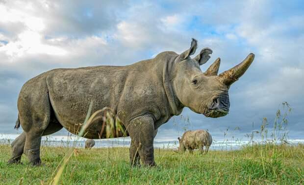 Северные белые носороги