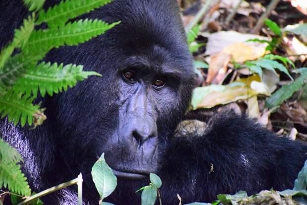 В Уганде браконьерам грозит пожизненный срок за убийство горной гориллы