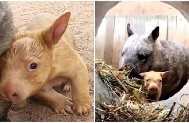 В Австралии появился зверь, который не существует в природе — золотистый вомбат