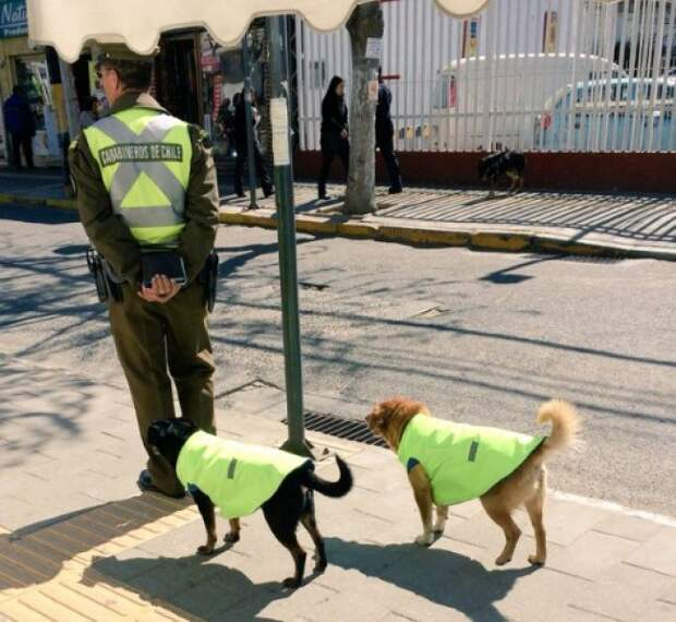 В Чили собак устраивают на работу и дают им жилье