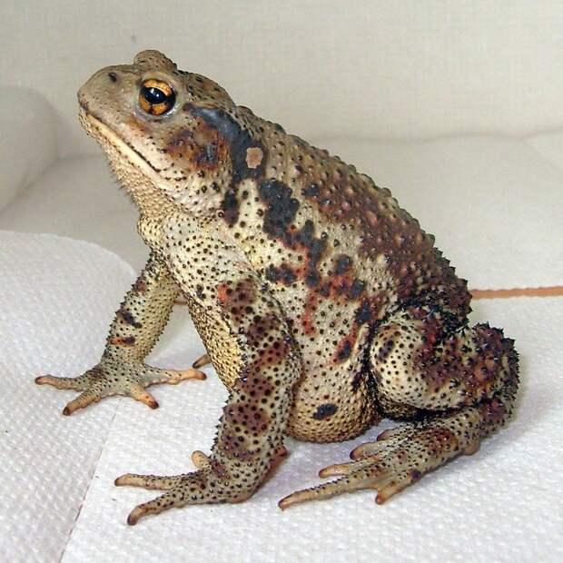 Дальневосточная жаба животные, опасные животные, россия, факты, фауна, фауна России, ядовитые животные