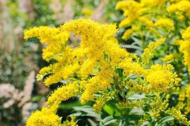 золотарник желтый