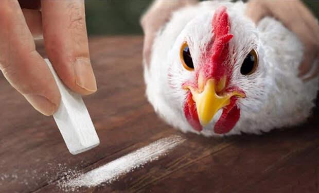 Фермер проверил теорию, что курицу можно загипнотизировать полосой на песке. Видео