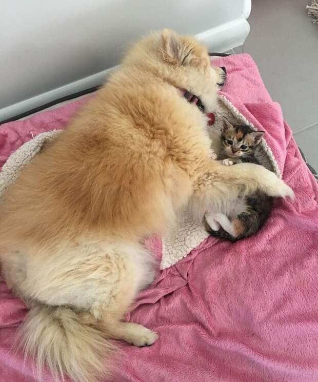 Собака лежит возле котенка