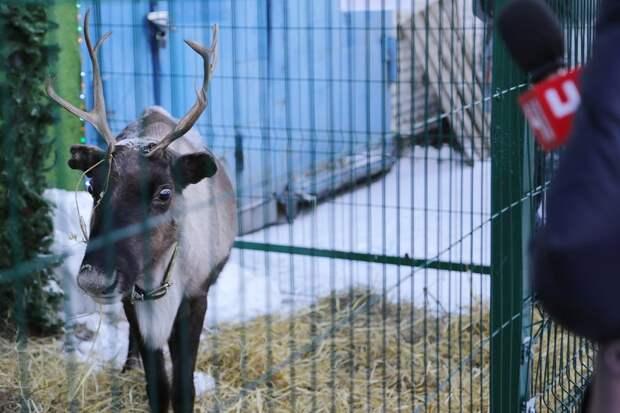 Похоже, Санта кого-то потерял! :) Дальнобойщики из Екатеринбурга спасли сбитого северного оленя!