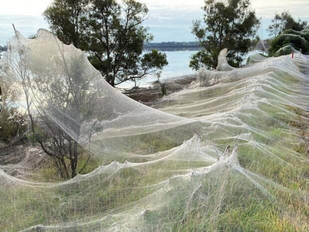 Австралию захватили пауки и мыши: повсюду паутина и помёт