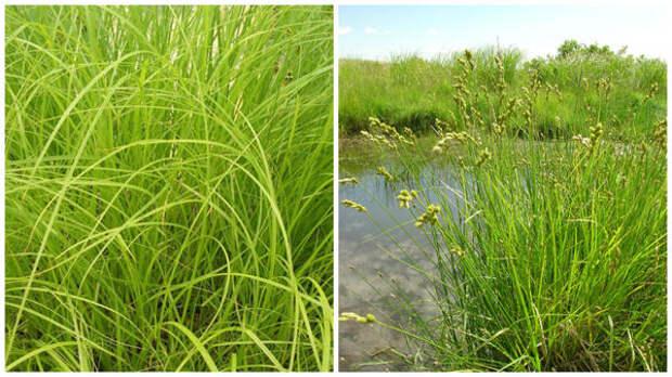 Осоки лисья американская, фото сайта Wickleins Water Gardens и метельчатая, фото сайта Go Botany - New England Wild Flower Society