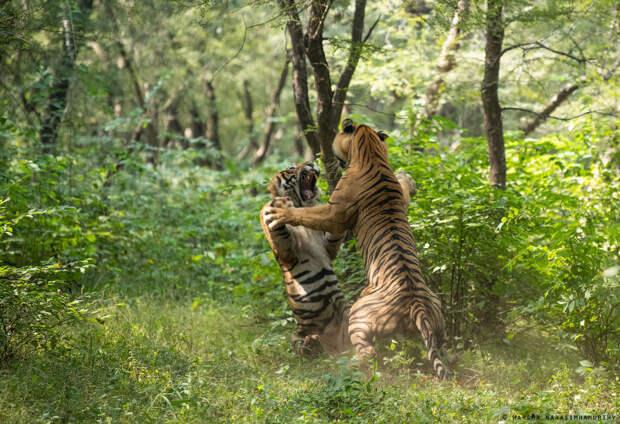 Схватка хищников в национальном парке Рантхамбор