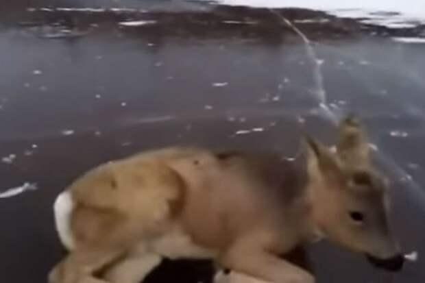"""Животное было совершенно беспомощно. Фото: стоп-кадр ИА """"Запад24""""."""