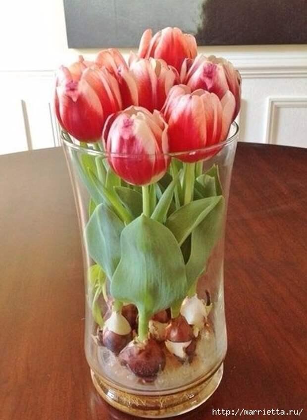 Выращивание тюльпанов в прозрачной вазе (9) (407x557, 136Kb)