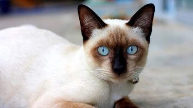 Кошачий алфавит. Сиамская кошка