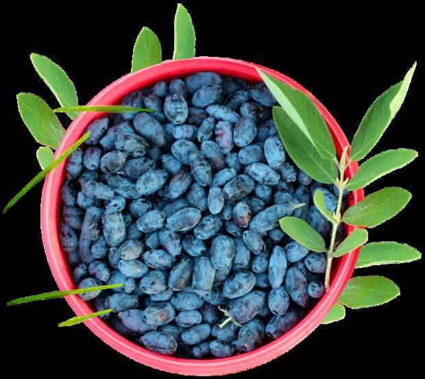 Жимолость − вкусная «аптека» в вашем саду