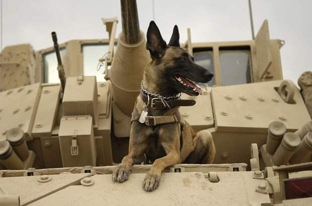 В британской армии казнят псов-ветеранов, потому что бюрократия запрещает отправить их на пенсию