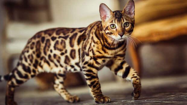 Красивые, но требовательные: топ-5 привередливых пород кошек