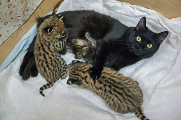В Новосибирском зоопарке две кошки выкормили котят сервала, каракала и дальневосточного лесного кота