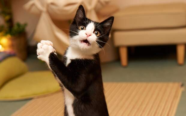 Картинки по запросу фото удивление кота