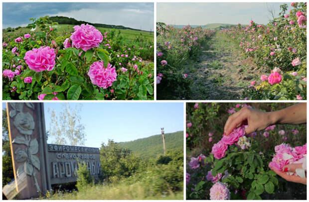 А знаете про Крымскую розу и ее сбор? А знаете, что для одного килограмма розового масла нужно 4000 килограмм розы? заработать, интересное, крым, отдых