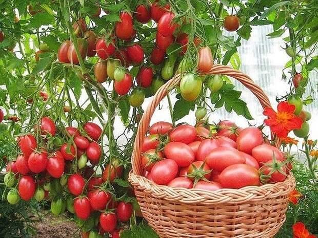 Чтобы томаты не жировали,