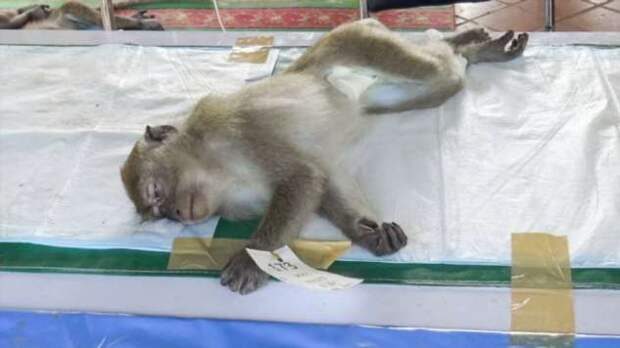 В Таиланде пришлось кастрировать сотни обезьян