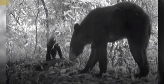 Трехлапый медведь не только выжил, но и принес потомство