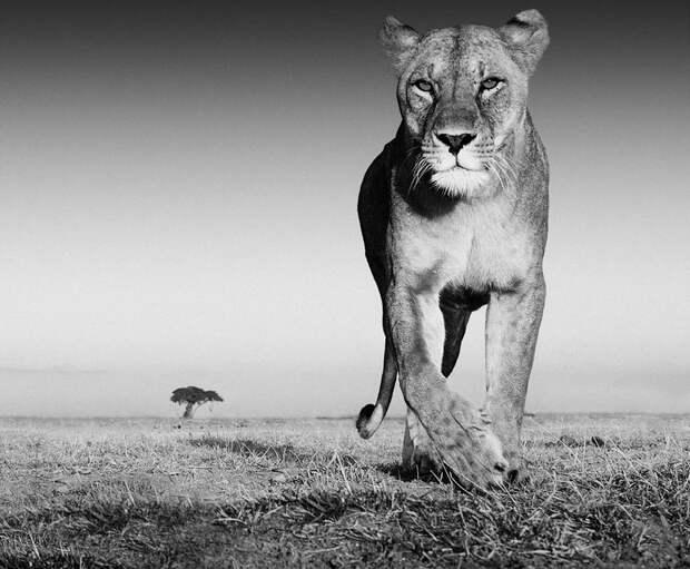В сантиметрах от льва