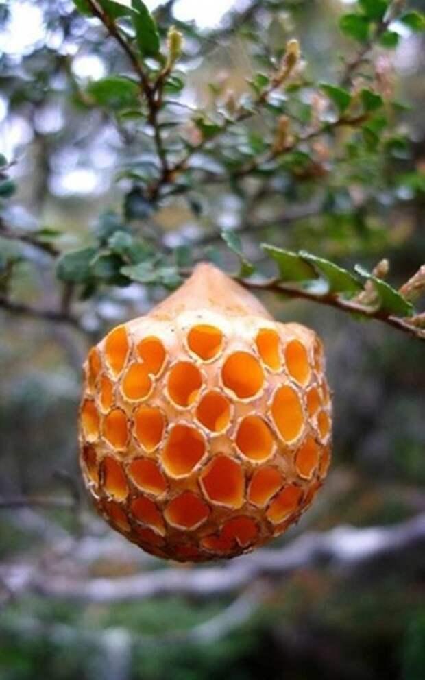 23. Буковый апельсин / Cyttaria gunnii грибы, факты, это интересно