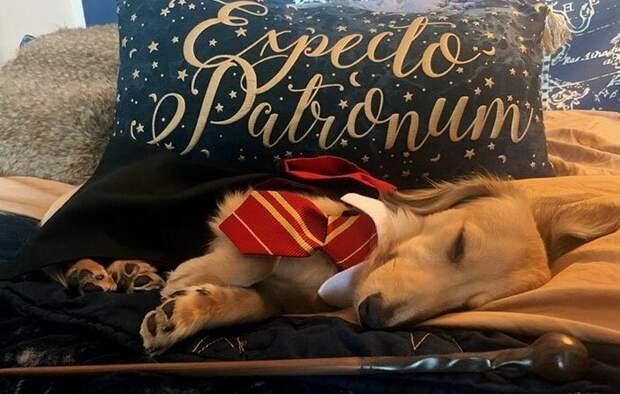 Самый симпатичный студент Хогвартса - пес по кличке Римус Дрессированная собака, гарри поттер, дрессировка, забавное видео, заклинания, собаки, трюки, хозяин и пес