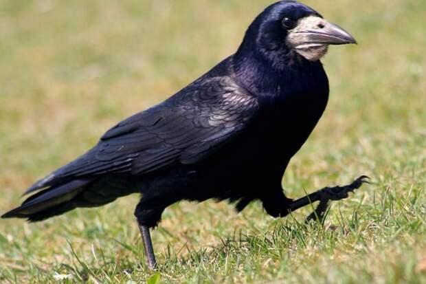 Птичьи мозги или феноменальный ум врановых Птицы, Ворона, Сойка, Сорока, Интеллект, Видео, Гифка, Длиннопост